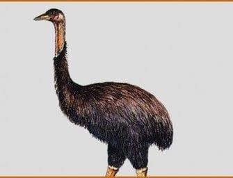 Aepyornis Madagascar – oeuf fossile d'Aepyornis – oiseau fossile – autruche géante