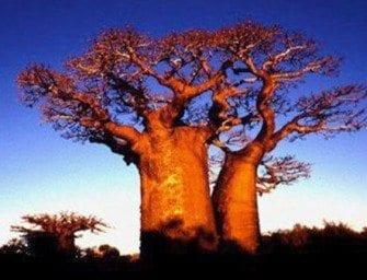 Baobab – un arbre très important