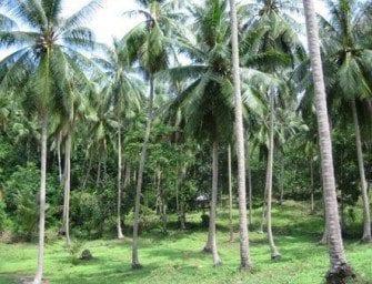 Coco – la cocoteraie de Madagascar