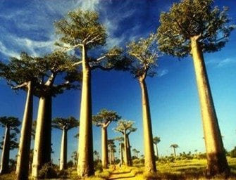 Collection de photos – Baobab ou arbre de Madagascar (Reniala)