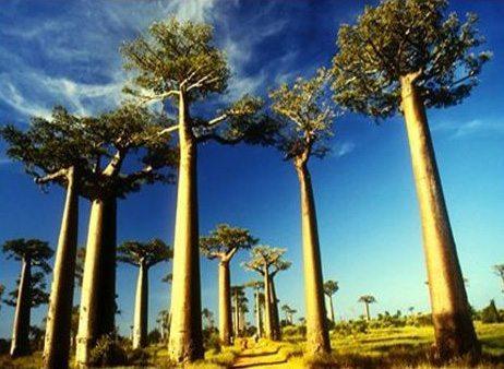 Collection De Photos Baobab Ou Arbre De Madagascar