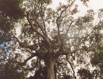 Les forêts primaires de l'Est
