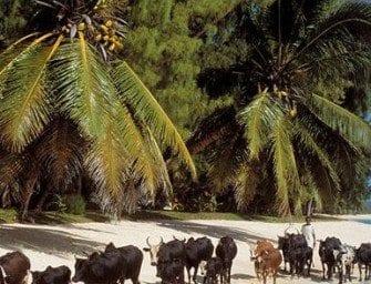 Le cocotier à Madagascar, Cocotiers, noix de coco et coprah