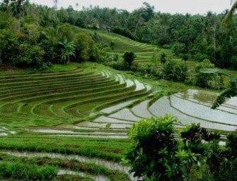 Le riz et l'heure de la récolte