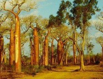 Les Baobabs – sur la route