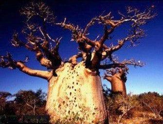 Les espèces de Baobab