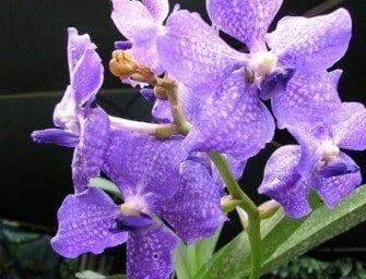 Orchidée Madagascar mille espèces endémiques d'orchidées à Madagascar