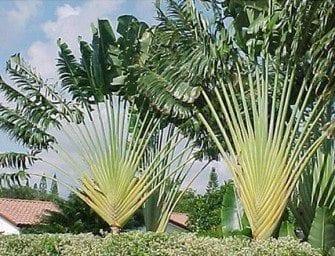 Ravenala, emblème de Madagascar, arbre du voyageur, union de l'homme et la nature
