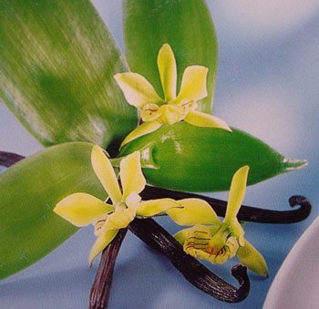 orchidee a vanille