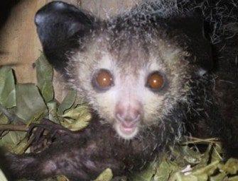 Lémuriens Madagascar – Aye Aye, lémurien et le plus rare des espèces nocturnes