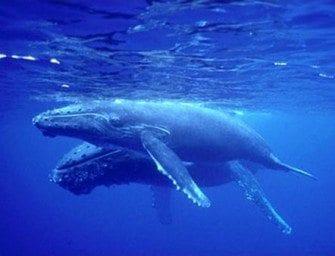 Cétacés – les baleines à bosse