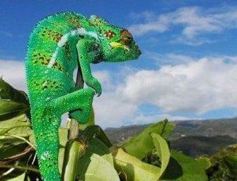 Les caméléons à Madagascar, le mythe de l'animal invisible, le petit dragon