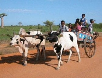 La charrette à Madagascar, moyen de transport tirée par des bœufs, zébu à Madagascar