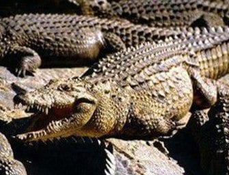 Les crocodiles – Des animaux préhistoriques