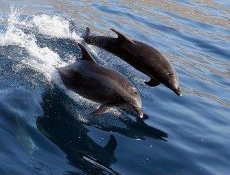 Cétacés – Le grand dauphin (Tursiops truncatus)