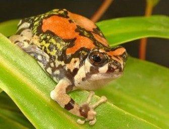 Amphibiens à Madagascar, petites grenouilles multicolores, espèces endémiques