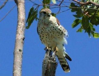Hitsikitsika ( Falco newtoni )