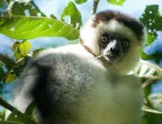 Lémuriens Madagascar lemurs – ancêtre du singe dont une majorité à Madagascar