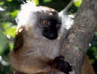 Lemuriens – Les lémures