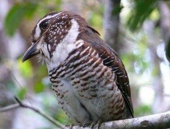 Oiseaux de Madagascar – Encyclopédie Ornithologique et avifaune endémiques