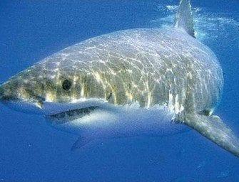 Le Requin et les organes des sens