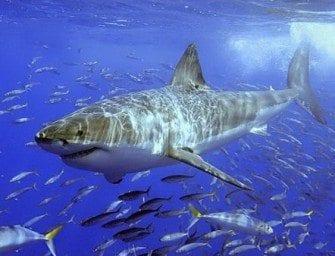 Anatomie et locomotion des requins