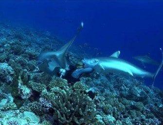 L'évolution des requins
