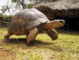 La tortue – La star des animaux endémiques